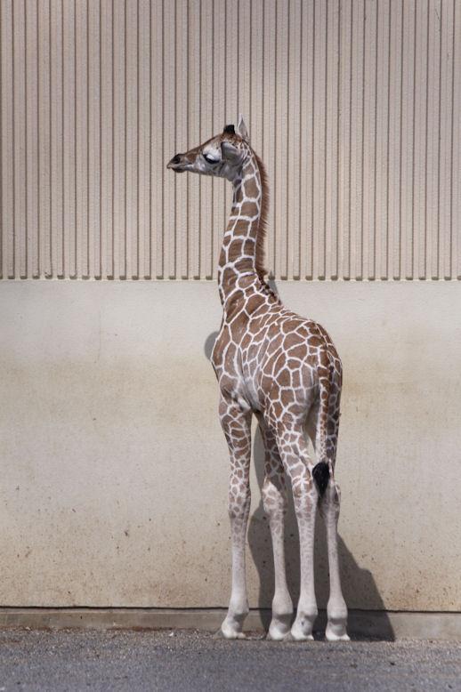 '15.3.22 baby giraffe 9490
