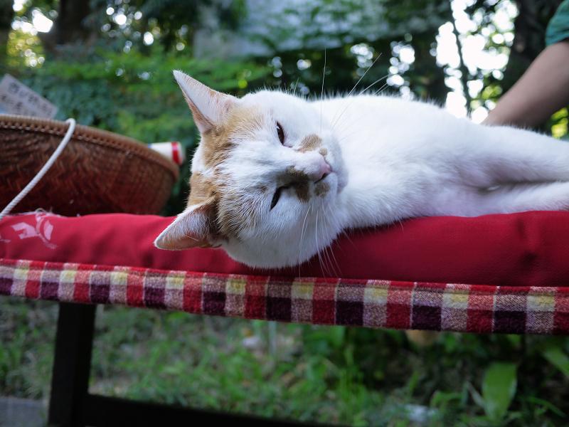 緋毛氈で横になる猫