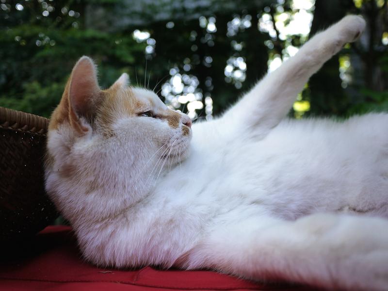 手を挙げる緋毛氈の猫
