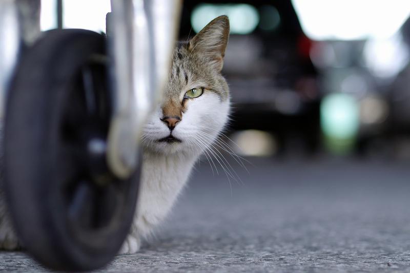 台車の下から睨む猫