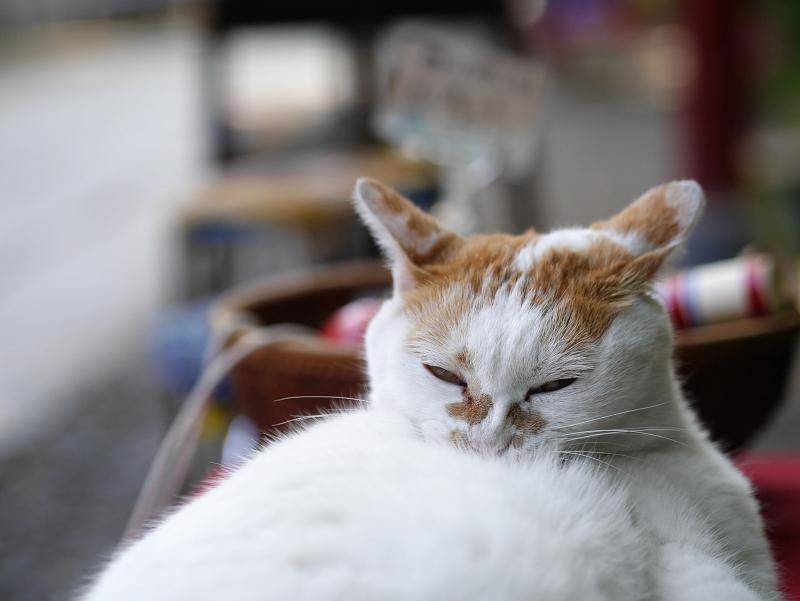 緋毛氈の上で腹に顔を埋める猫