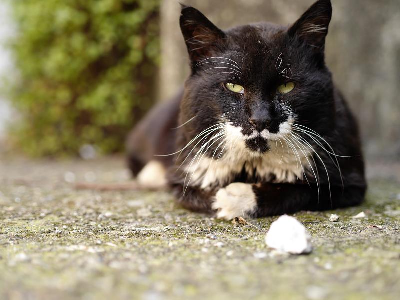 視線を逸らす黒白猫