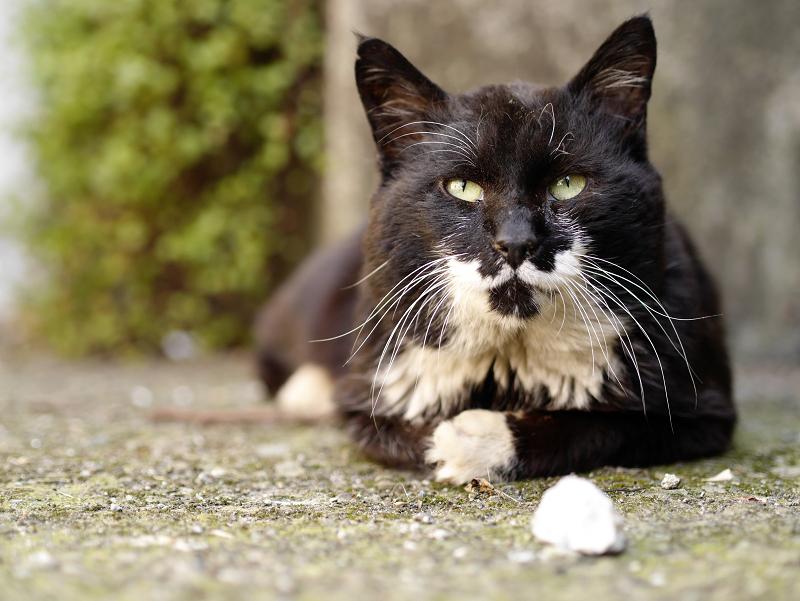 視線を上げる黒白猫