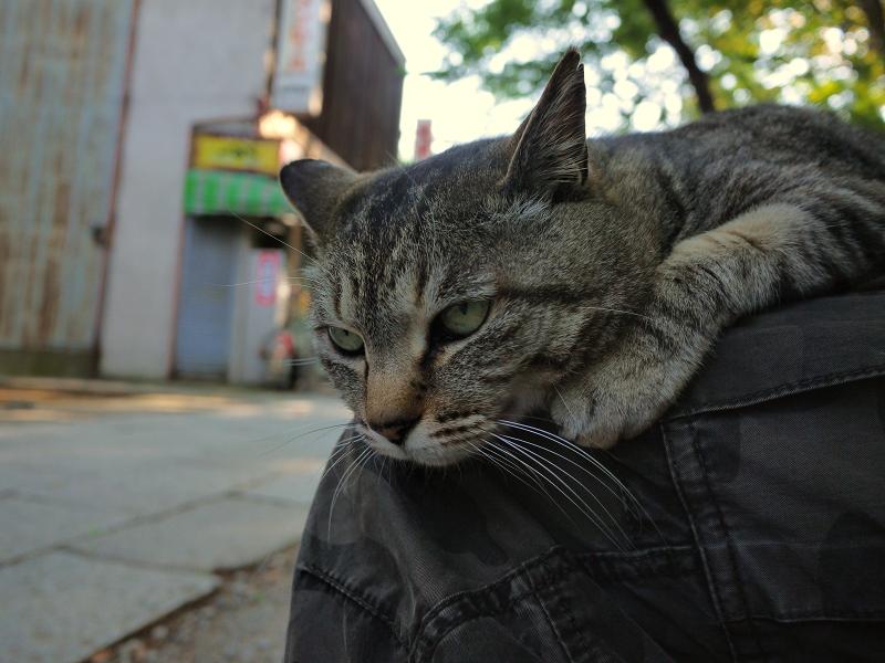 膝の上で目線を下げてる猫
