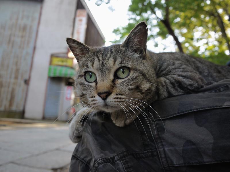 膝の上で視線を真っ直ぐにしてる猫