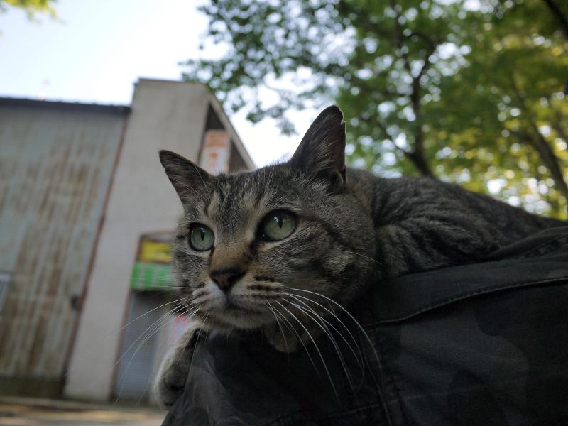 膝の上で視線を上げてる猫