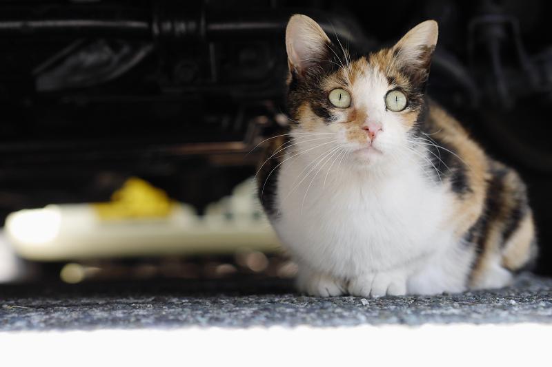 車の下の三毛猫
