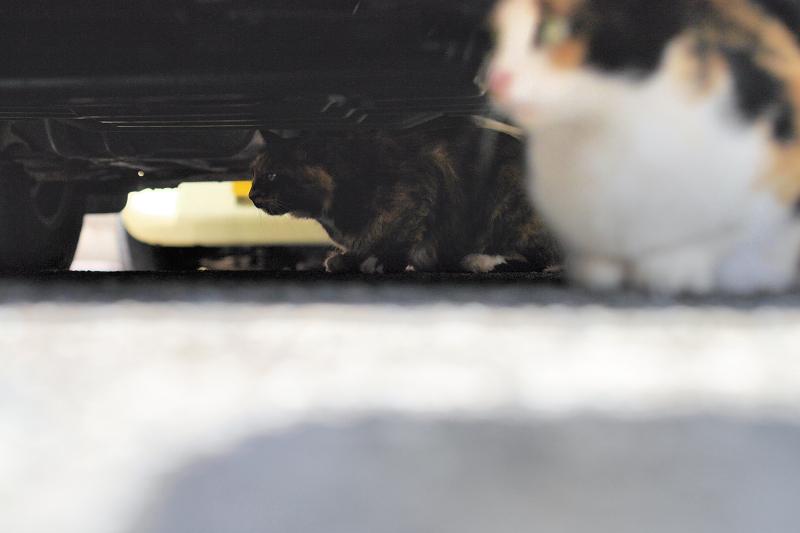 三毛猫の奥にいたサビ柄猫