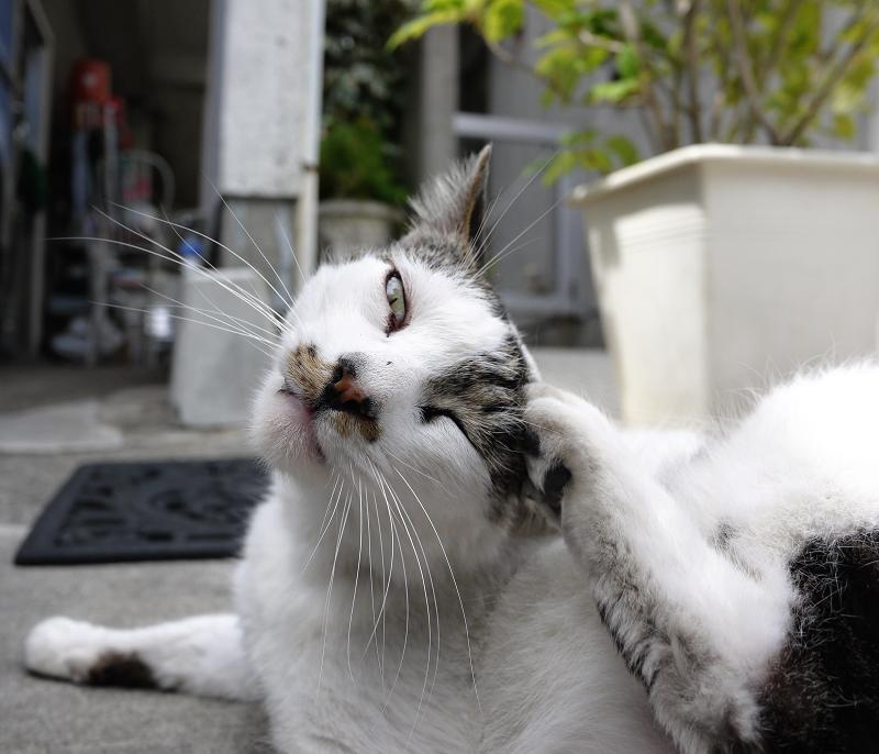 カメラ目線でカキカキする猫1