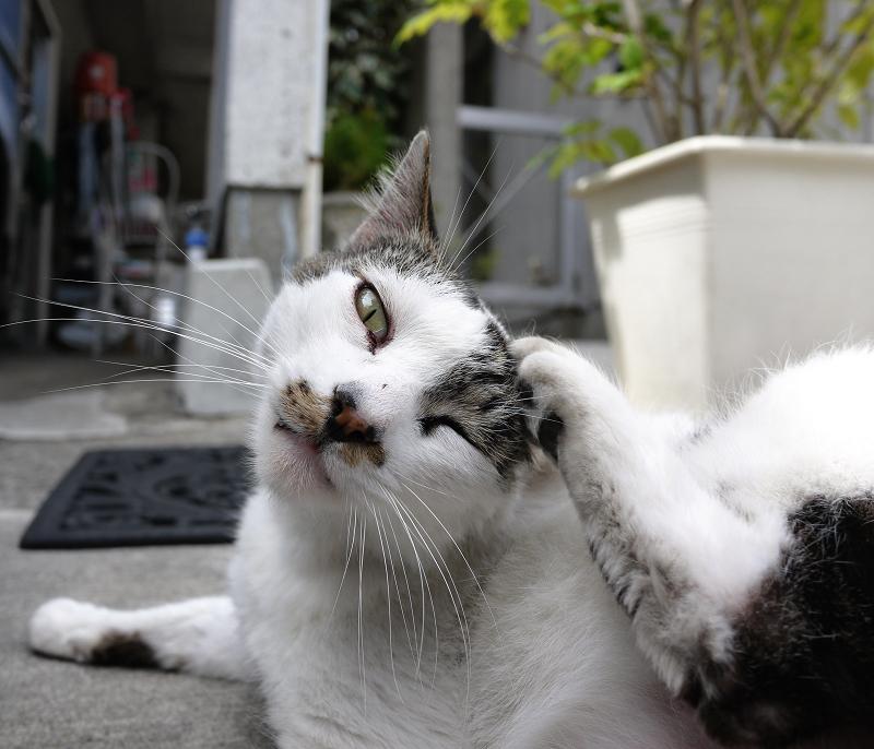 カメラ目線でカキカキする猫2