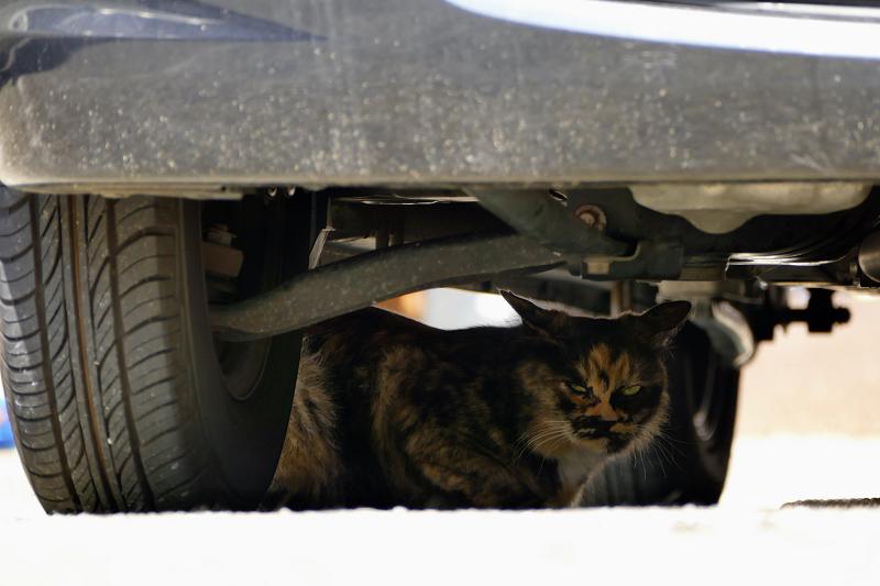 車の下から睨むサビ柄猫