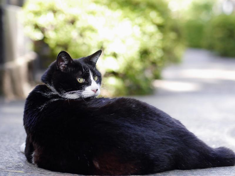 振り返る黒白猫