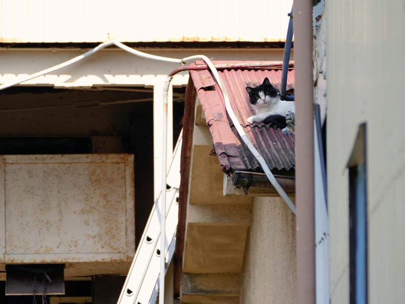 トタン屋根の黒白猫1