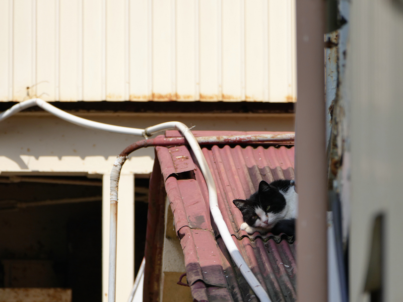 トタン屋根の黒白猫2