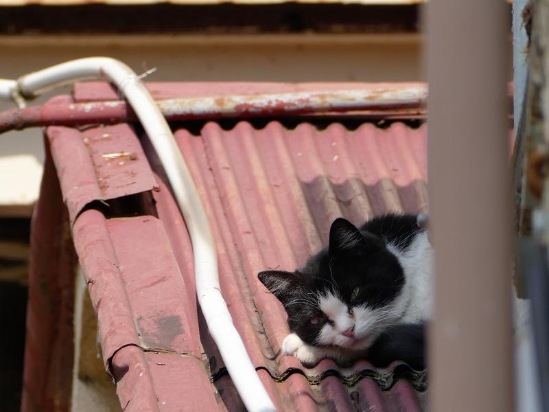 トタン屋根の黒白猫3
