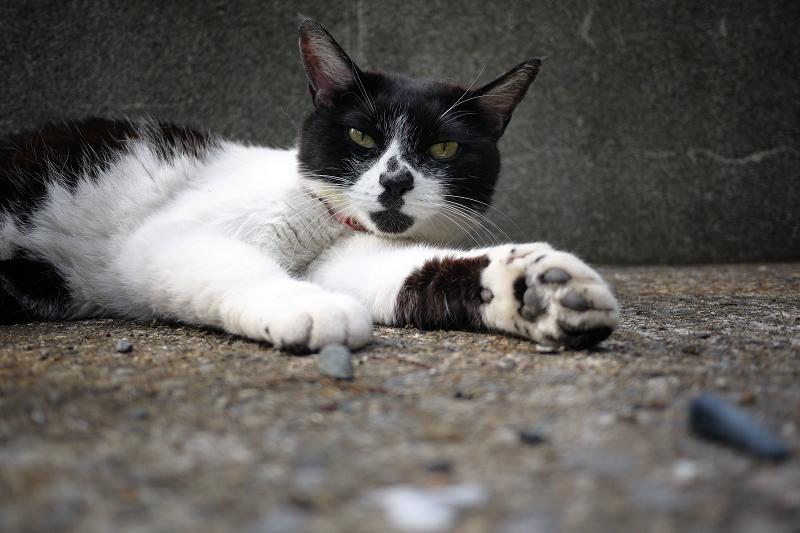 境内で腹ばう黒白猫