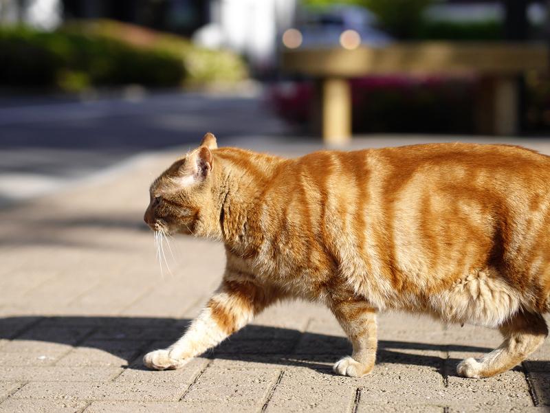 陽射しの中を歩いてる渦巻き柄猫