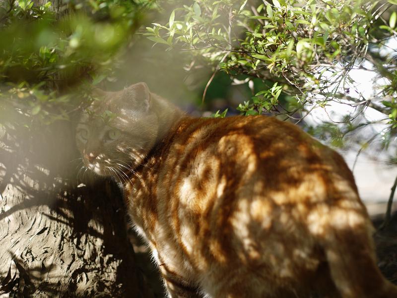 茂みで振り返ってる渦巻き柄猫