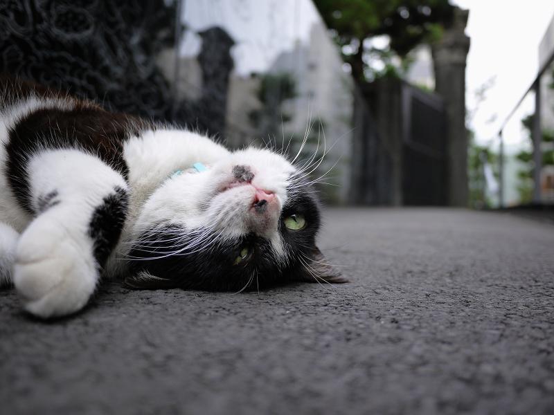 仰向けになってる猫