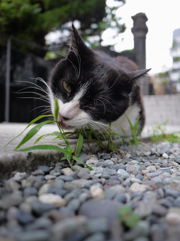 草を喰う猫1