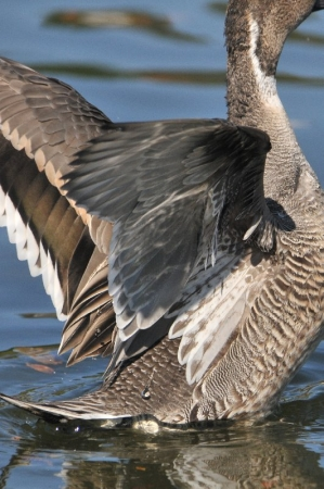 pintail-intersex-wing1130