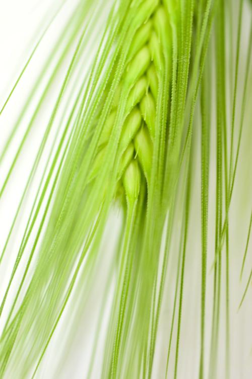 barley_15_2_26_2.jpg