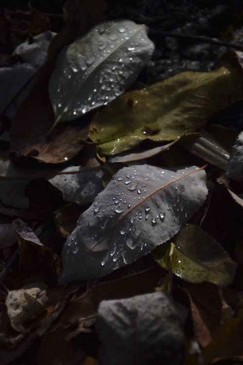 fallen_leaves_drop_14_12_25_1.jpg