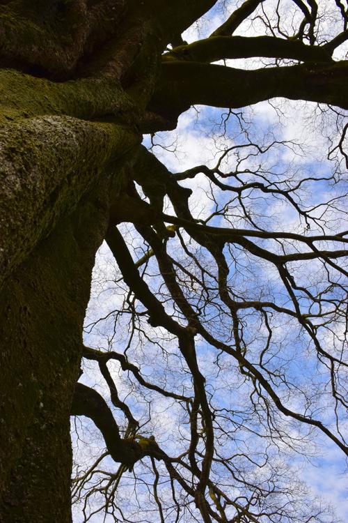御所の大木