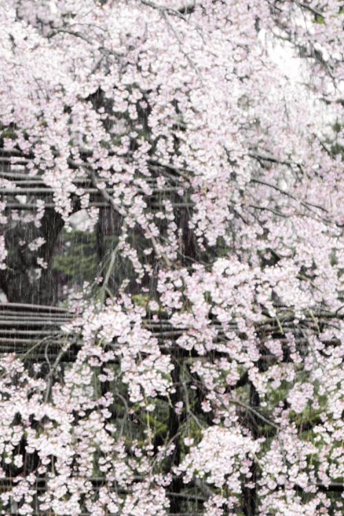 shidarezakura_15_4_3.jpg