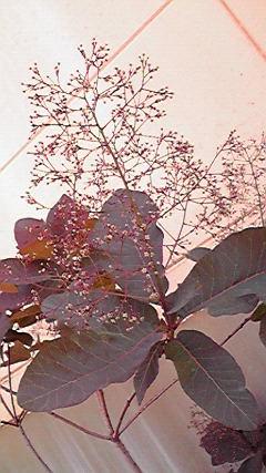 smoketree2.jpg