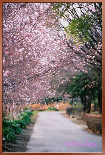 blogkanzakura.jpg
