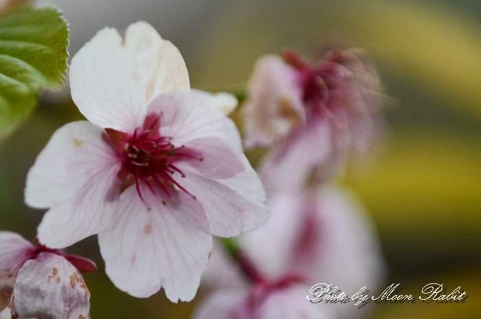 大寒桜(オオカンザクラ) 愛媛県西条市