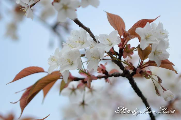子福桜(コブクザクラ) 愛媛県西条市