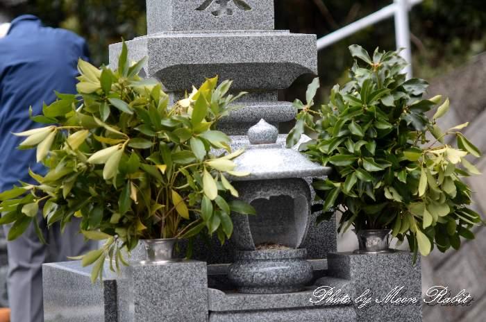 シキミ 愛媛県西条市