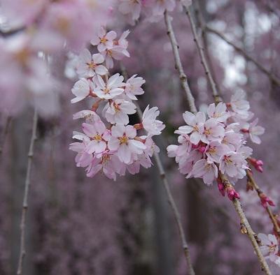 20150403枝垂桜アップ2