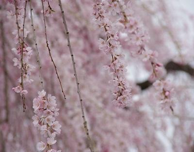 20150403枝垂桜アップ