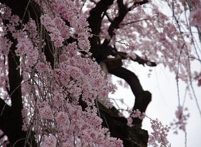 20150403枝垂桜1
