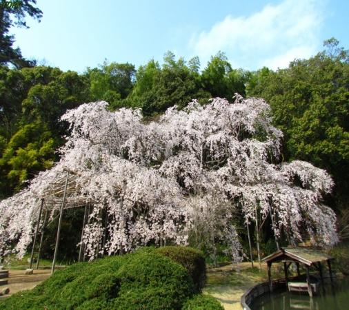 スマホ用 7767曹源寺の枝垂れ桜960×854