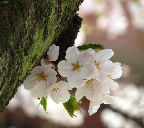 スマホ用 7907幹から桜960×854