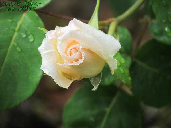 8475白薔薇150503