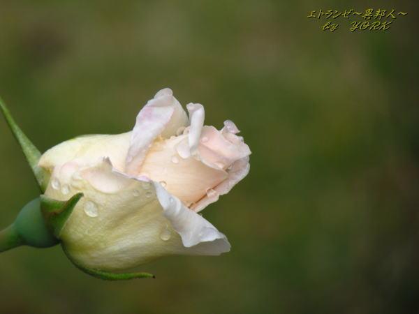 8478白薔薇横から150503