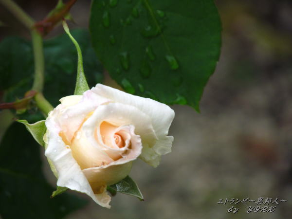 8479白薔薇2150503