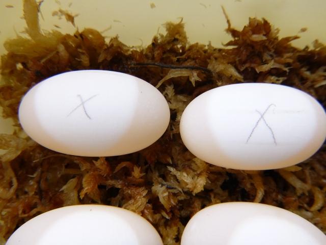 キボシイシガメの卵