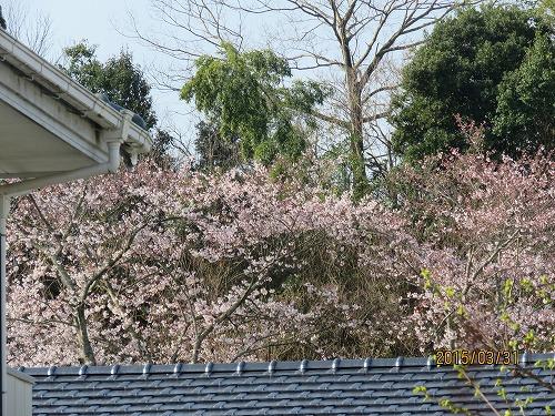 今朝の桜1