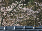 今朝の桜2