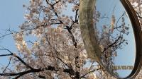 団地の桜3