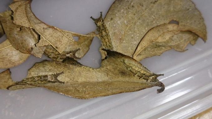 ブルーオオムラサキ幼虫2