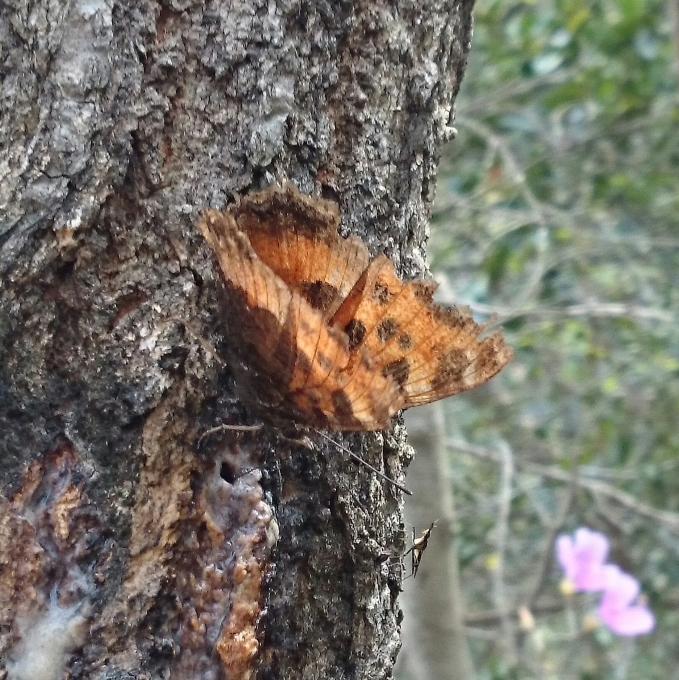 ヒオドシチョウ吸樹1