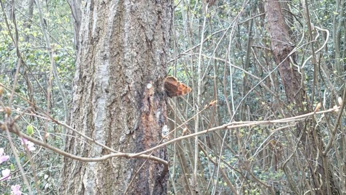ヒオドシチョウ吸樹2