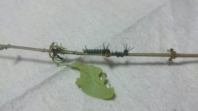 イボタガ幼虫2